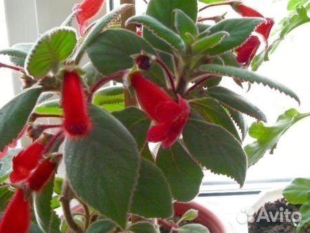 Калерия цветок уход