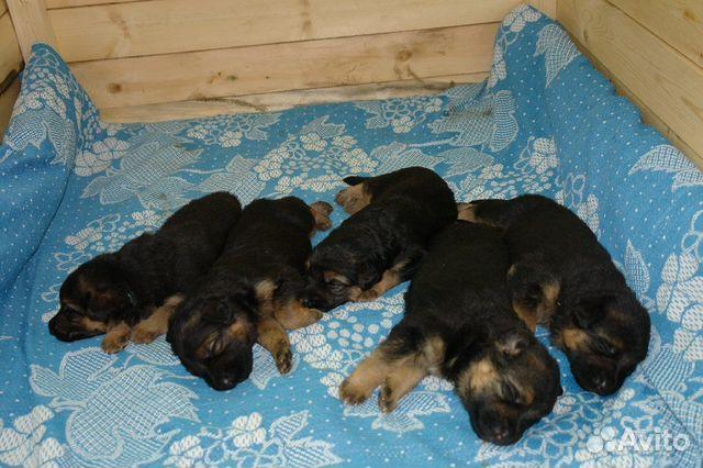 Продаются щенки чёрного и чепрачной окрасок от родителей с отличной родословной