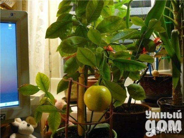 Фото помело в домашних условиях