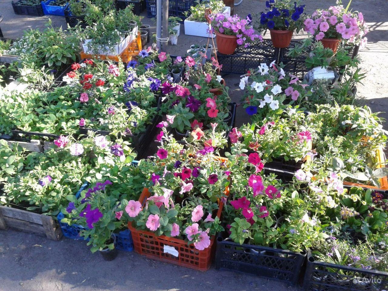 рассаду овощей и цветов купить в ...: https://www.avito.ru/barnaul/rasteniya/prodam_rassadu_ovoschey_i...