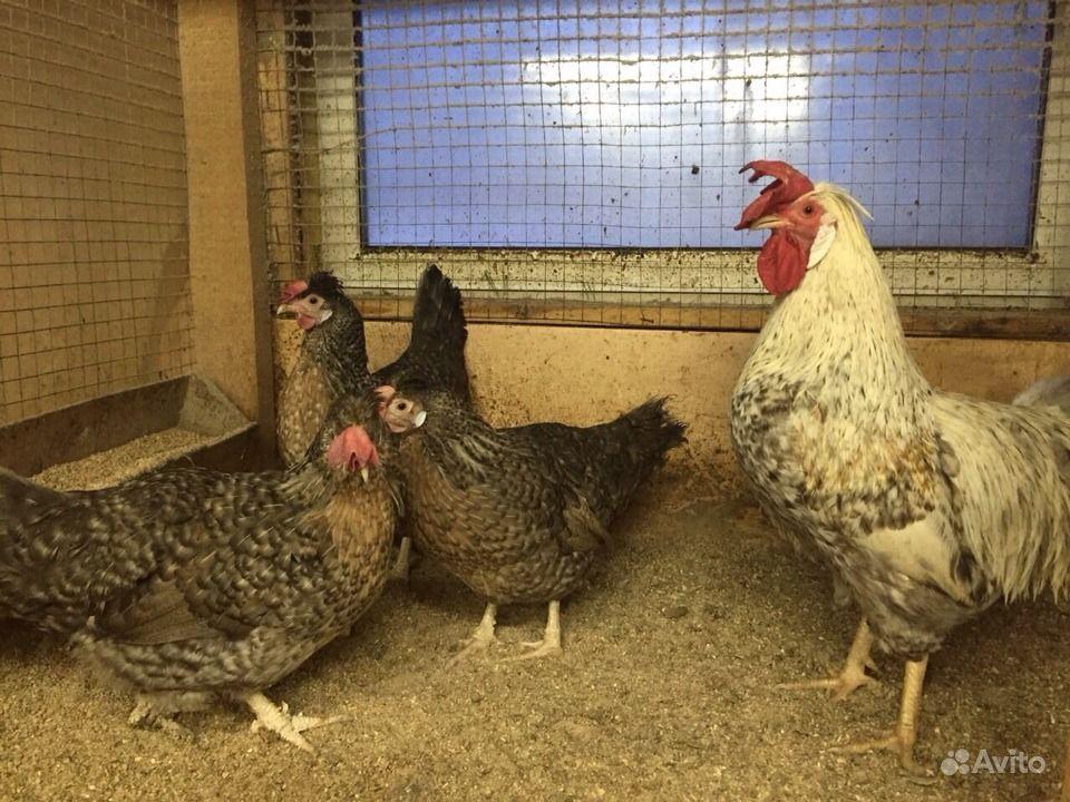 Домашняя птица,яйцо на инкубацию и на еду в Костроме - фотография № 3