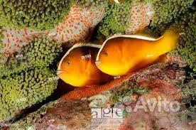 Рыба-клоун оранжевый