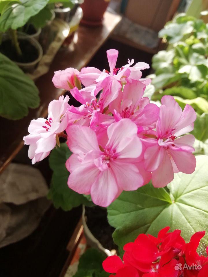 Герань белая, розовая, красная, малиновая купить на Зозу.ру - фотография № 3