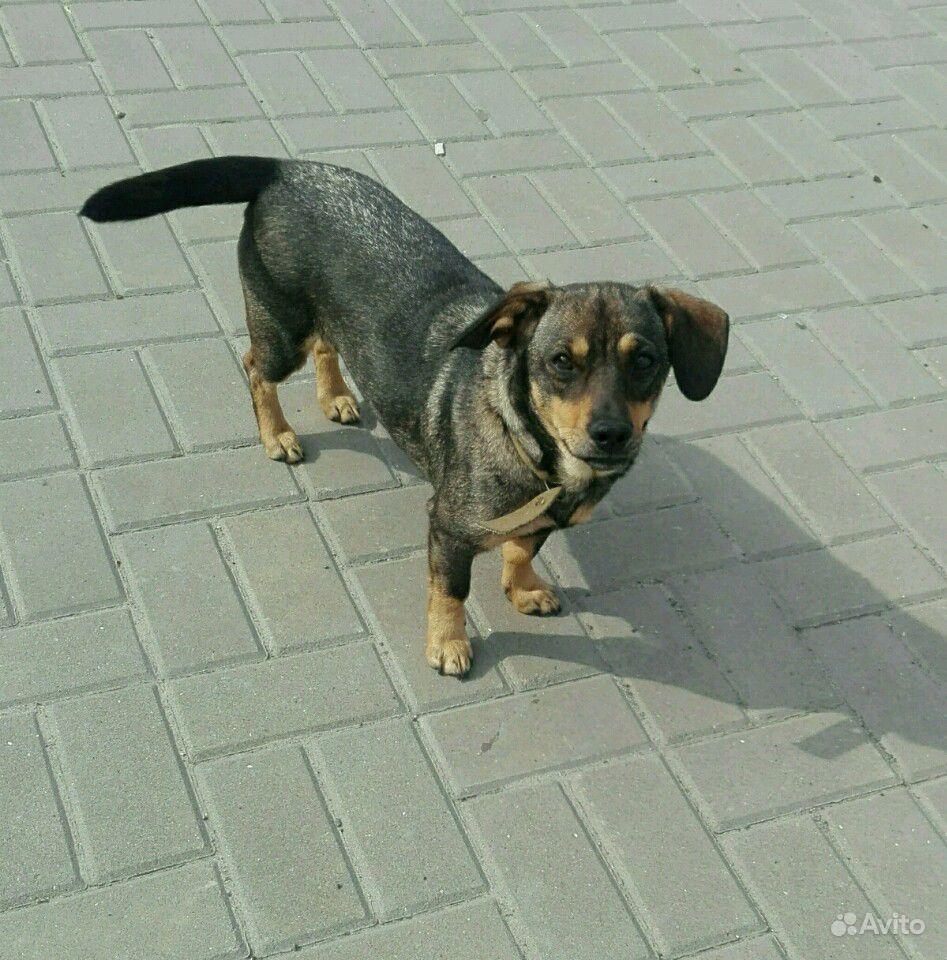 Небольшая собачка Чапа в добрые руки