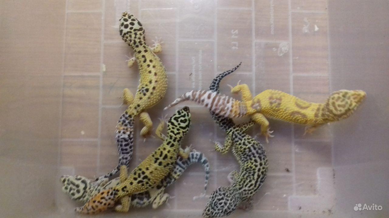 Эублефары (леопардовые гекконы)