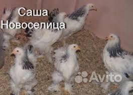 """Цыплята """"Брама"""",и """"Бойцовские """""""
