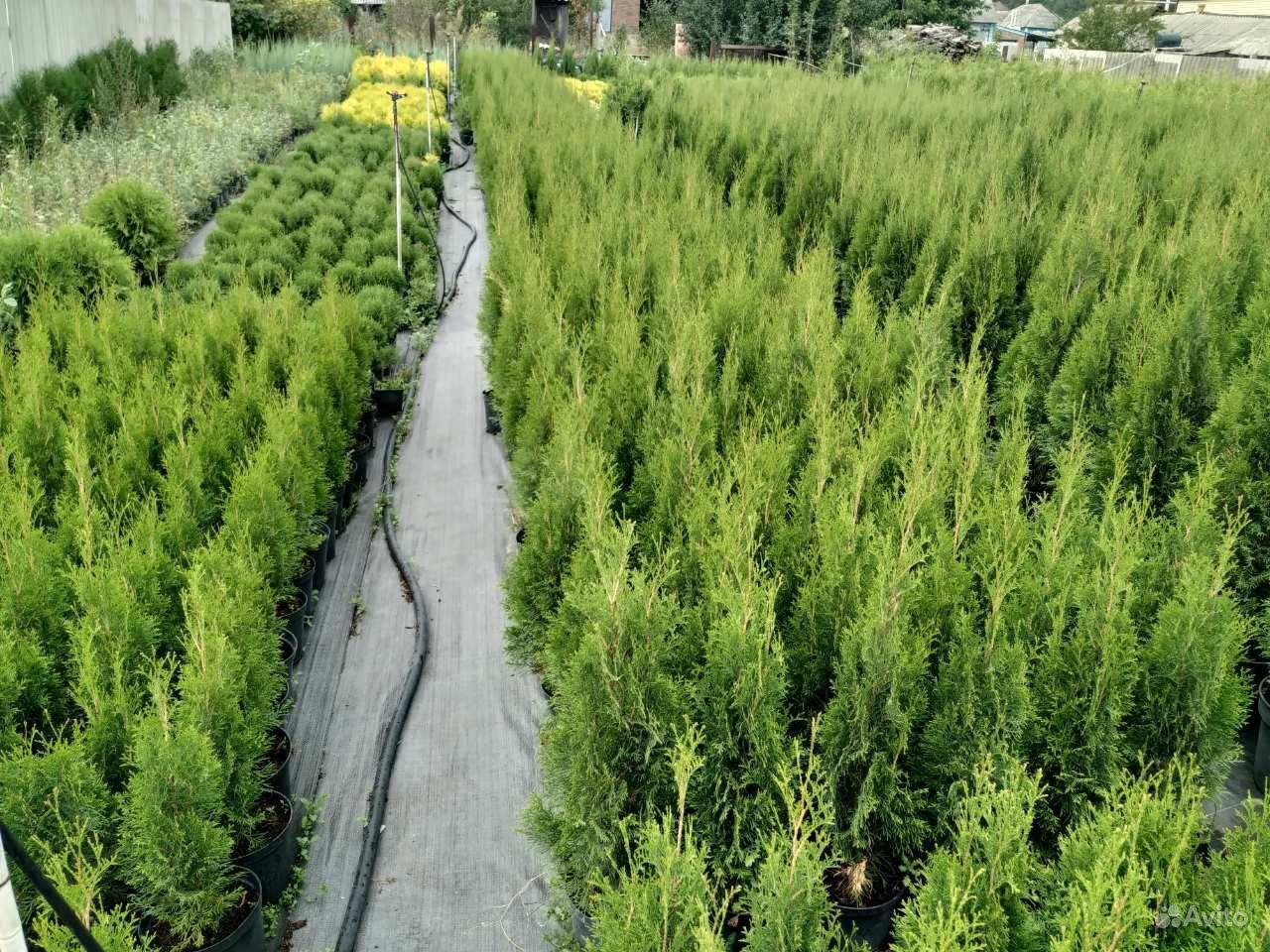 Хвойные растения,Туя (туи,ель,можжевельник) купить на Зозу.ру - фотография № 3