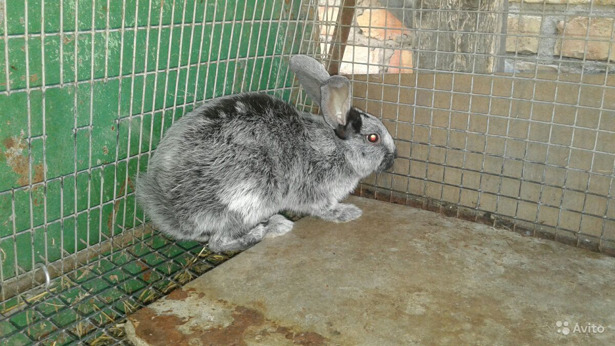 Продаю кроликов бсс и нутрий