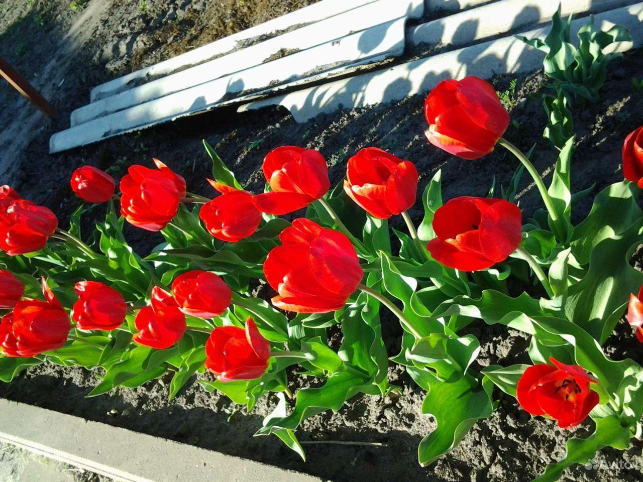 Продаю луковицы тюльпанов купить на Зозу.ру - фотография № 2