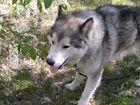 Пристраиваю кобеля Аляскинского Маламута 3 года