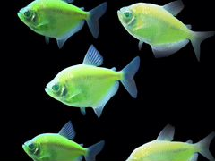 Аквариумная рыбка Тетра (зелёная) 2шт