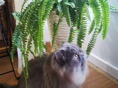 Персидская кошка на вязку. Ищем персидского кота д