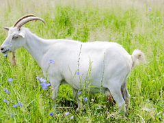 Продаются козы/Козлята/Козье молоко