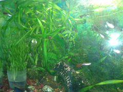 Аквариумные водоросли