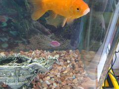 Рыба золотая самец