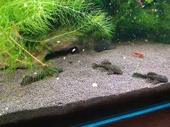 Рыбки Сом Анцитрус