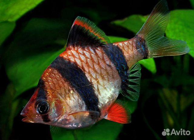 барбусы рыбки фото и содержание