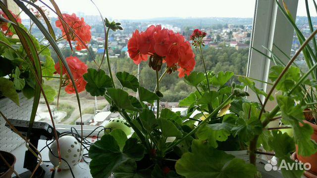 Комнатные цветы иркутск авито