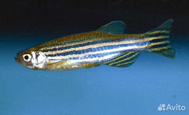 Рыбки 89270277683 купить 1