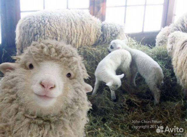 Картинки, прикольная картинка овец
