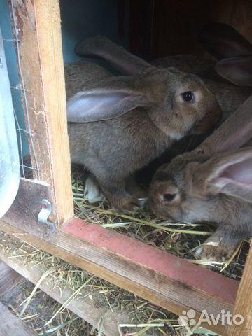 Кролики 89780705271 купить 1