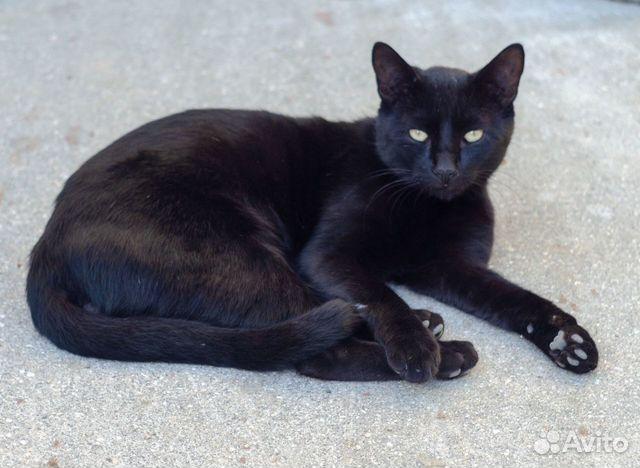 Шикарный черный кот  89815532729 купить 1