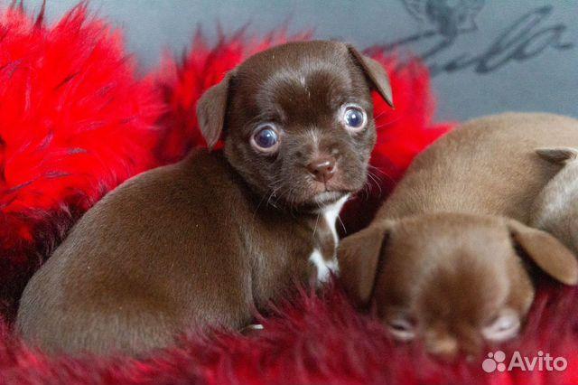 Гладкошёрстные щенки чихуахуа купить на Зозу.ру - фотография № 6