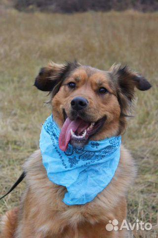 Рыжая собака красотка Джесси в дар купить на Зозу.ру - фотография № 3