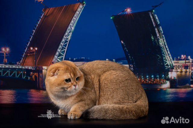 Шотландский племенной кот вязка купить 4