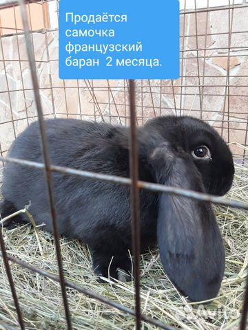 Кролики 89202417955 купить 3