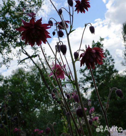 Цветы садовые купить 4