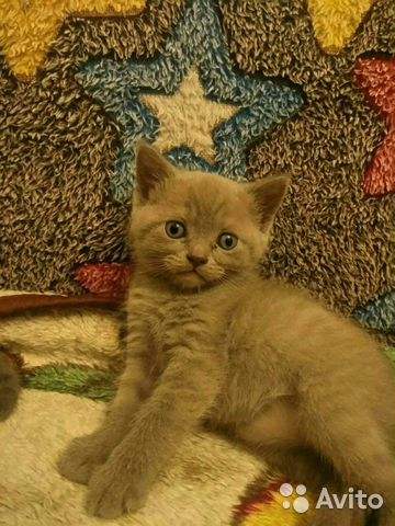 Британские котята 89788145185 купить 3