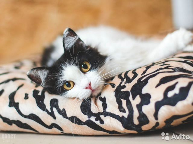 Великолепная кошка Аврора, 2 года  купить 1