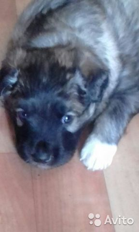 Собака  89144824173 купить 1