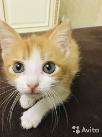 Кошка  купить 1