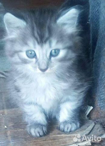 Мама-кошка молодая и сын котенок сибирские  89195513765 купить 1