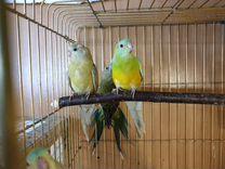 Певчий Попугай