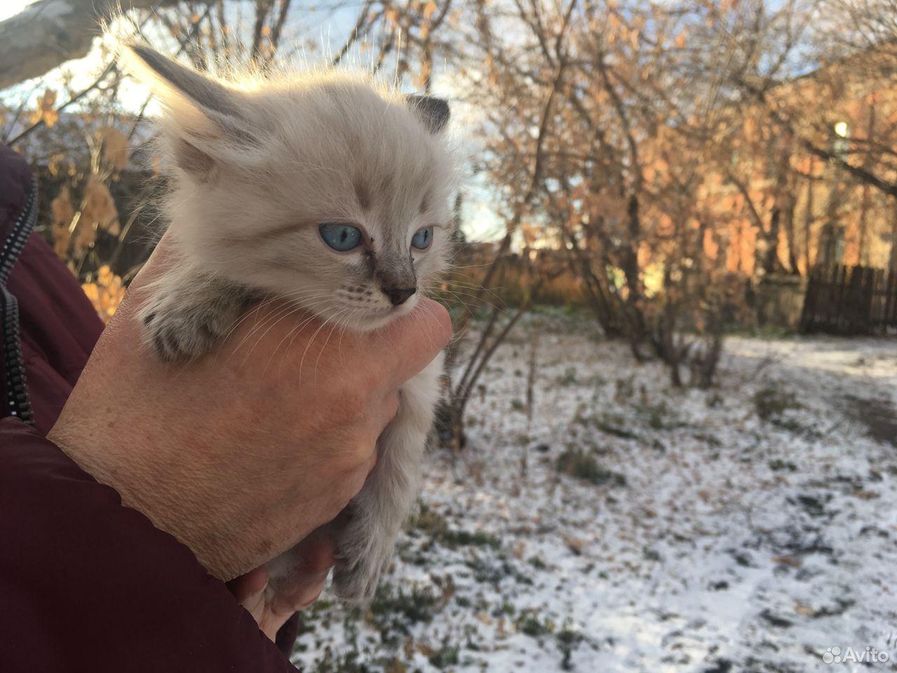 Котенок невская маскарадная  89236854950 купить 2