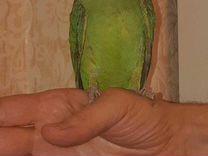 Ожереловый попугай — Птицы в Москве