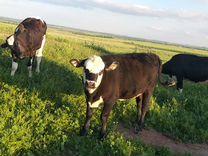 Корова дойная с теленкам