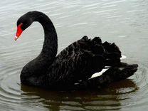 Австролийский черный лебедь