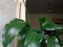 Комнатное растение эухарис