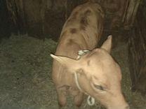 Корова (красно пестрая) с теленком