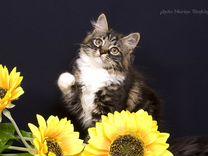 Сибирские котята из питомника