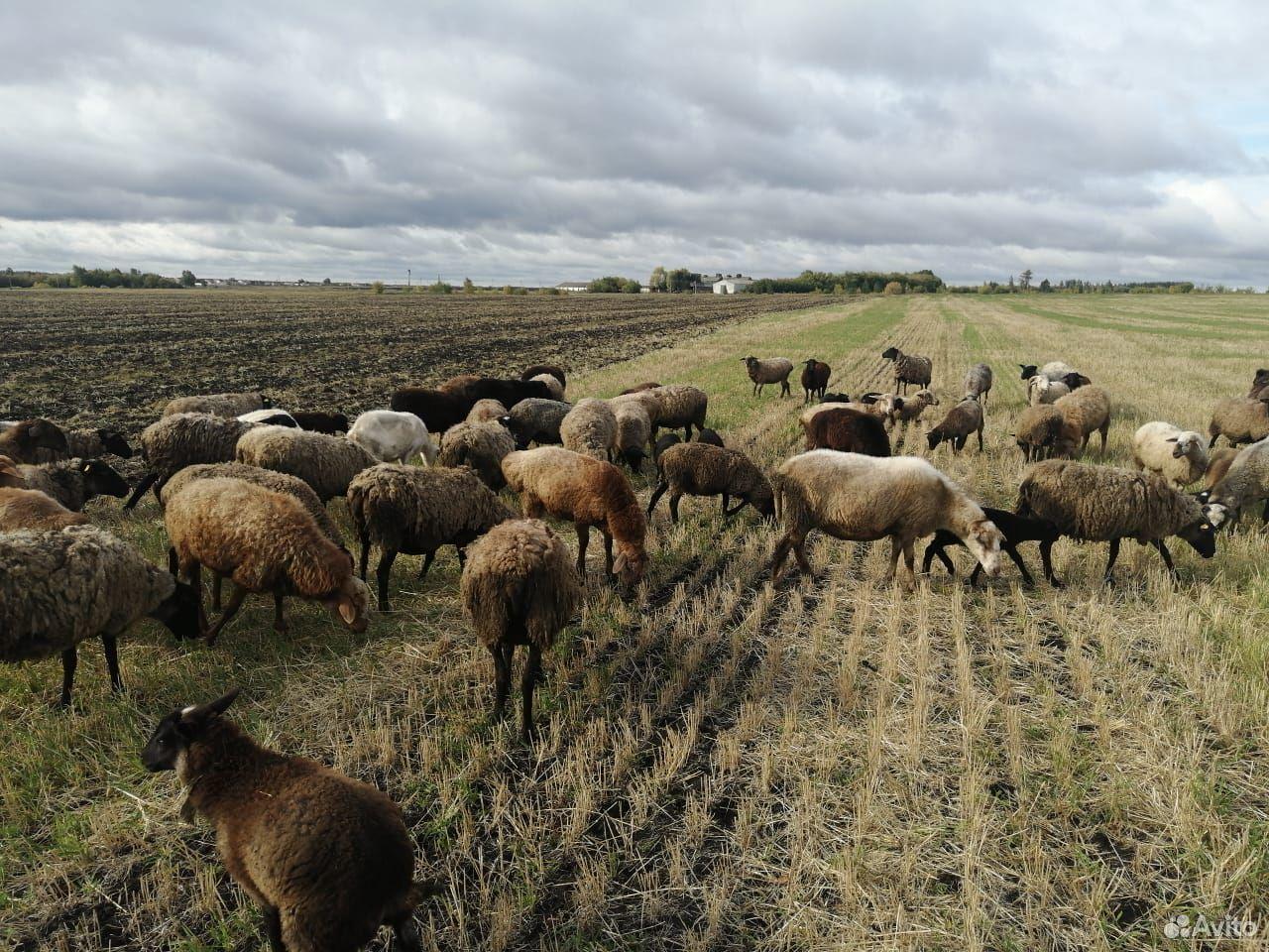 Овцы  89967399220 купить 4