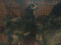 Куры- несушки (молодки), цыплята бройлеров