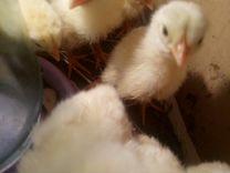 Инкубационное яйцо индейки и кур. Индюшата