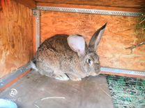 Продаю кролика. (Ризен) самка